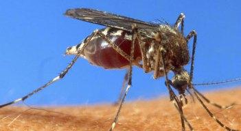 Next Irene Complication: Mosquitoes