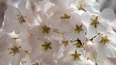 Sherwood's Notebook: Snow Before Cherry Blossoms