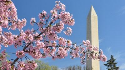 Cherry Blossom Festival Still Blooming