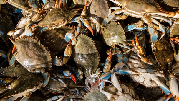 Maryland's Blue Crabs Attract Thieves, Illegal Harvesters