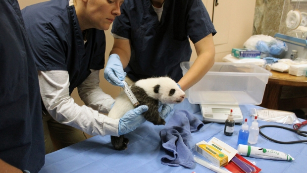 National Zoo's Panda Cub Weighs 5 Pounds!
