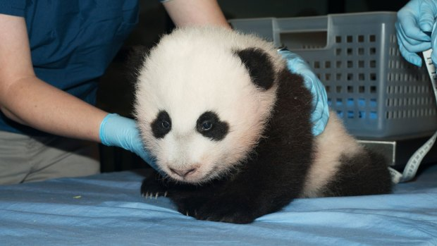 PHOTOS: New Images of National Zoo's 3-Month-Old Panda Cub