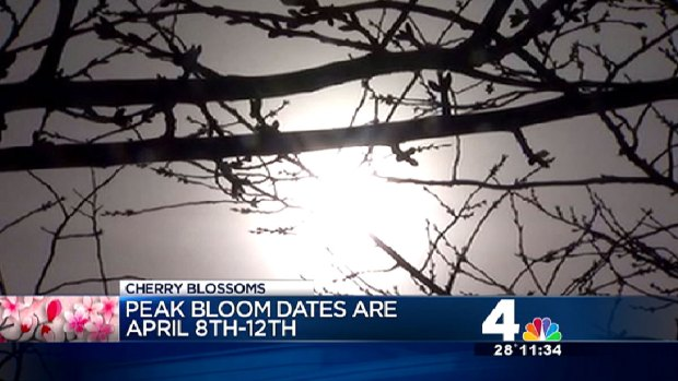 [DC] Despite Snow, Peak Blossom Dates Announced