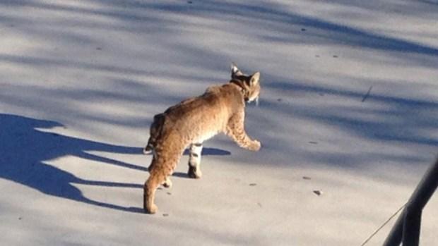 Bobcat Spotted at Carmel Valley School