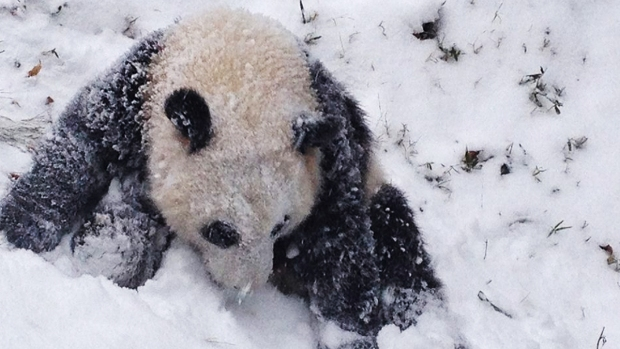 Snow Day! Bao Bao Plays in Snow for 1st Time
