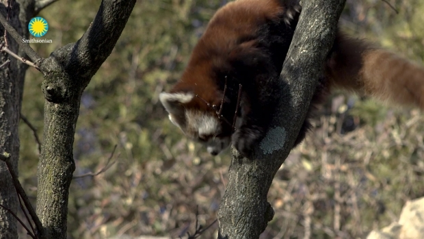 [DC] Watch: Red Pandas Jackie and Nutmeg Debut at the National Zoo