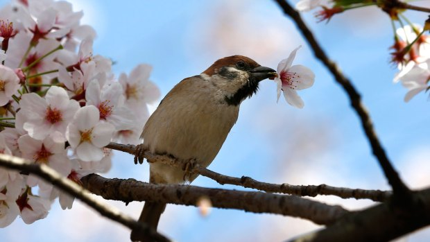 PHOTOS: Looks Like Spring! Cherry Blossoms From DC to Japan