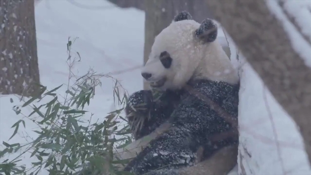 [DC] See National Zoo's Pandas Frolic in the Snow
