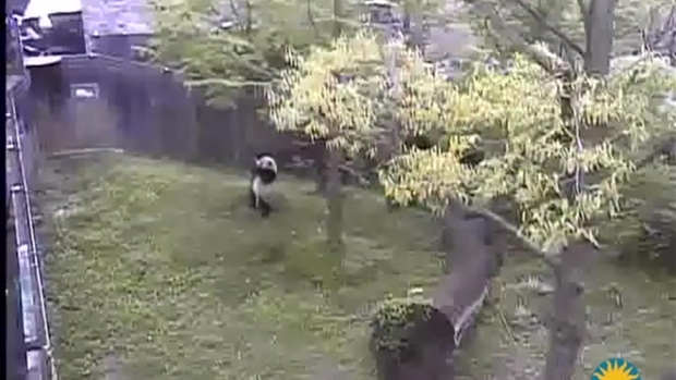 [NATL] WATCH: Bao Bao Tumbles in Her Yard