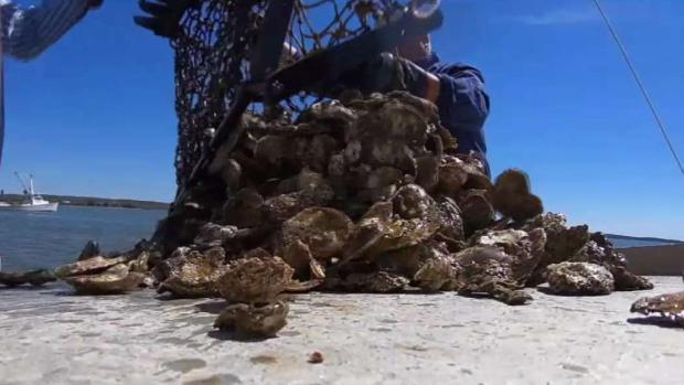 [NATL-DC] Climate Change Threatens Chesapeake Bay Oysters