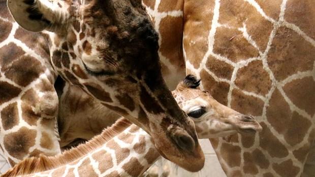 Adorable Zoo Babies: Indianapolis Zoo Welcomes Baby Giraffe