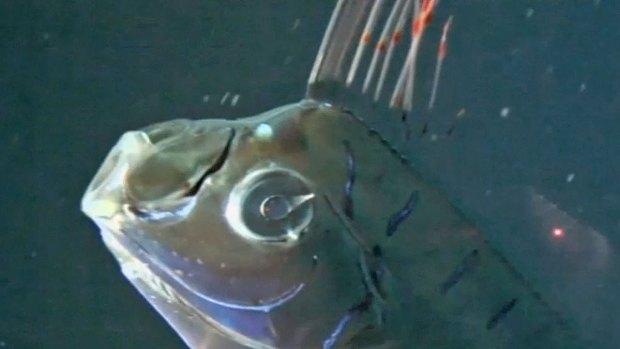 Rare Oarfish Discovered in California
