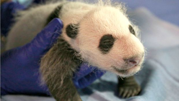 [NATL-DC] National Zoo's Panda Cub Almost Three Pounds at Recent Checkup