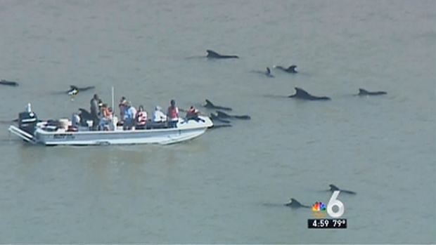 [MI] Rescue Workers Continue Efforts to Save Stranded Whales