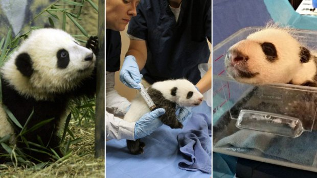 Photos: The National Zoo's Panda Babies Through the Years