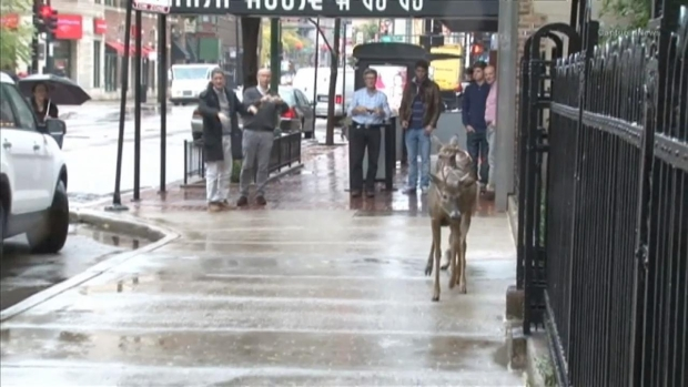 [CHI] Pair of Deer Stroll Through Busy Gold Coast