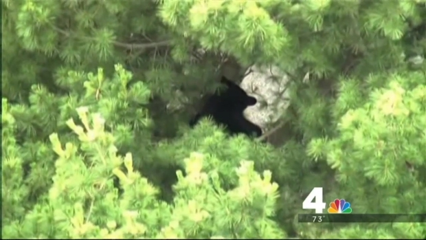 [DC] Bear Captured in Bethesda, Returned to Wild
