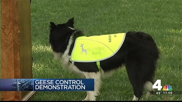 [DC] Geese Police to Start Patrol on National Mall