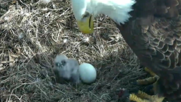 [DC] VIDEO: Eaglet Wriggles in Nest