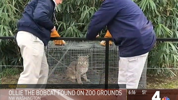 Ollie the Bobcat Found Safe at the National Zoo