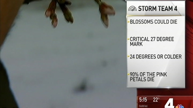[DC] Cold May Kill DC's Cherry Blossoms