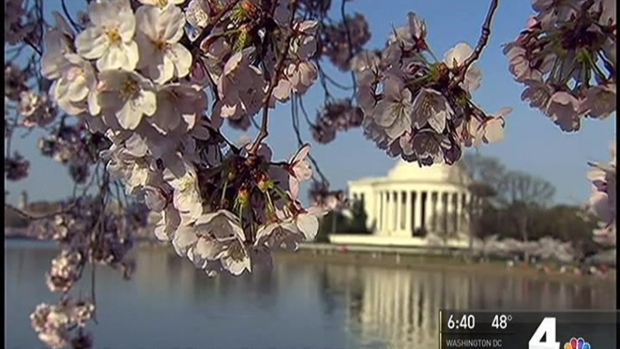 Despite Rough Weather, Many Cherry Blossoms Will Bloom