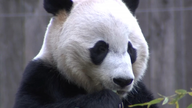 [DC] Raw Video: Bei Bei Eats During His Final Week at the DC Zoo