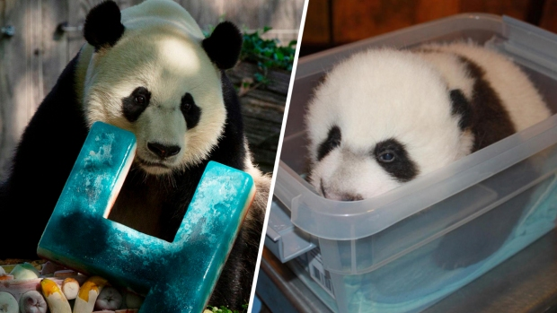 Photos: See Bei Bei Grow From Cub to Giant Panda