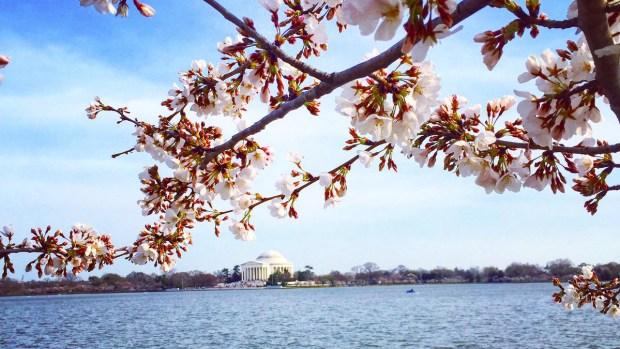 PHOTOS: Your 2017 Cherry Blossom Pics