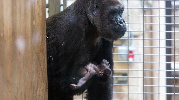 Say Awww: Newborn Gorilla's Baby Photos