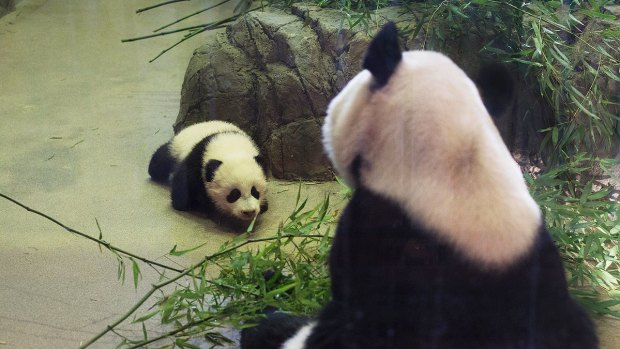 National Zoo's Panda Cub Bao Bao Explores Den