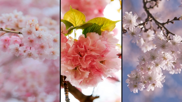Designated Survivors: Our Last Hopes for Cherry Blossom Sightings Are Some of These Varieties