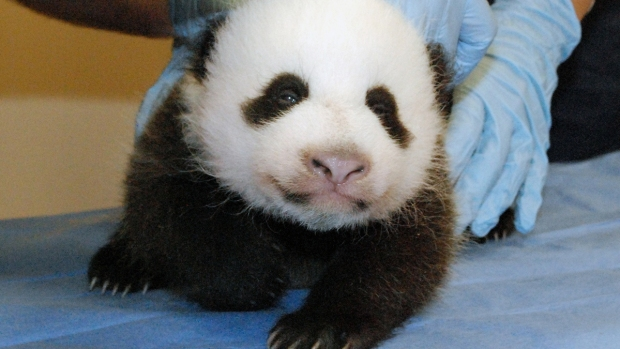 National Zoo's Panda Cub Got Cuter Since Government Shutdown
