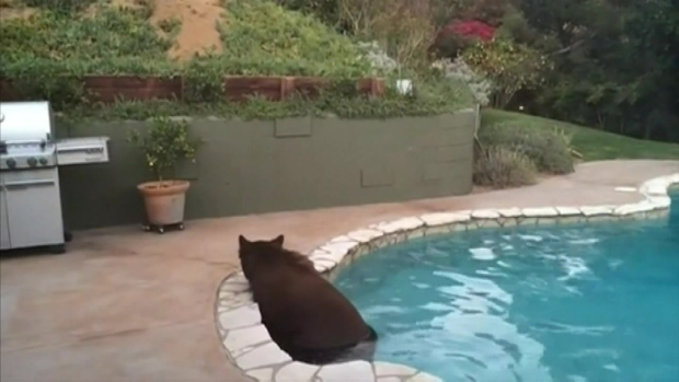 [NATL-LA] Bear Swims in Backyard Pool During Heat Wave