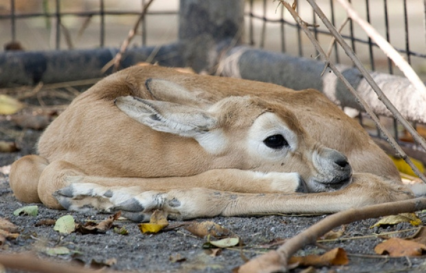 Meet the Zoo's New Baby Gazelle