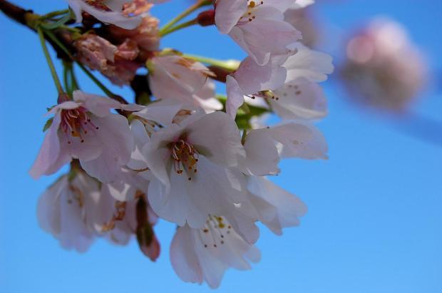 Cherry Blossom Scrapbook:  2009 Edition