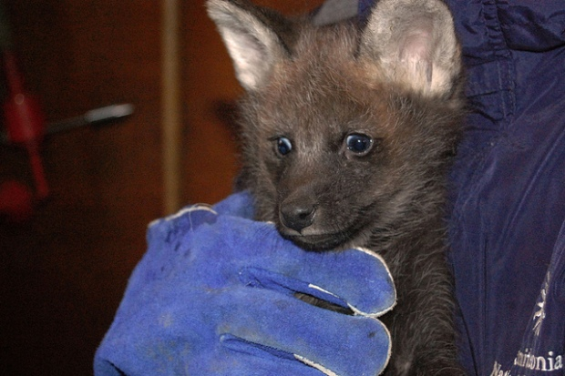 Maned Wolf Pups Make Wacky Facial Expressions