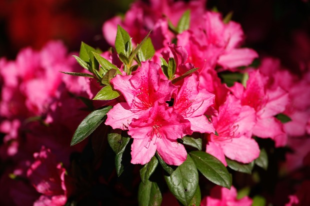 [DC] Save the Azaleas!