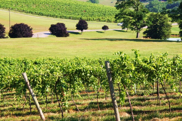 Pics: Linganore Vineyards in Mt. Airy, Md.