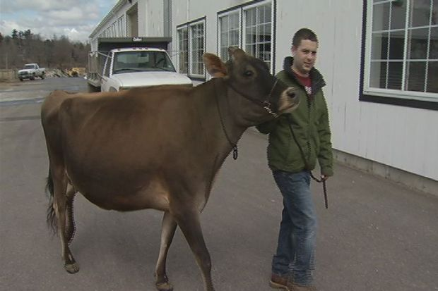 [HAR] Record Cow Comes To Connecticut