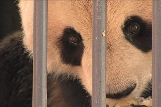 Bon voyage, Bao Bao! National Zoo panda heads to China soon