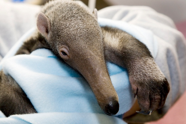 Baby Anteater Seeks to Usurp Cuteness Crown