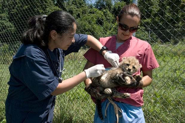 New Cuteness: Cheetah Cubs