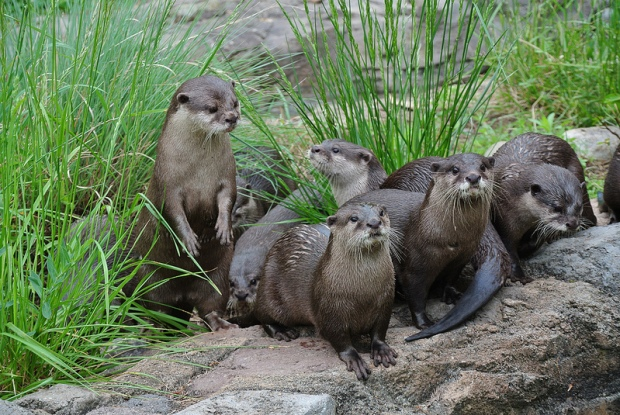 Otter-tunity Knocks at the National Zoo