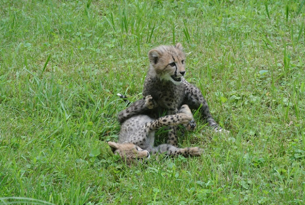[DC] Cheetahs Bounce Into Spotlight at National Zoo