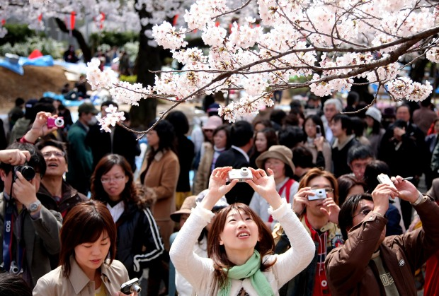 Overseas Cherry Blossoms Just as Grand