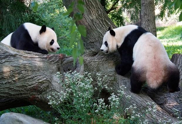 Never Say No to Pandas