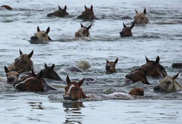 See 200+ Wild Ponies Take a Swim
