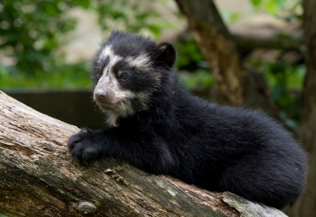 Andean Bear Cubs Spectacled, Adorable - and Named