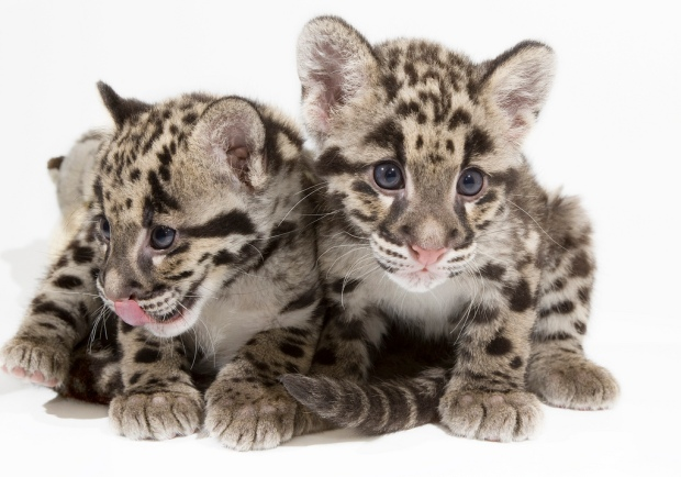 Clouded Leopard Cubs: The Next Generation